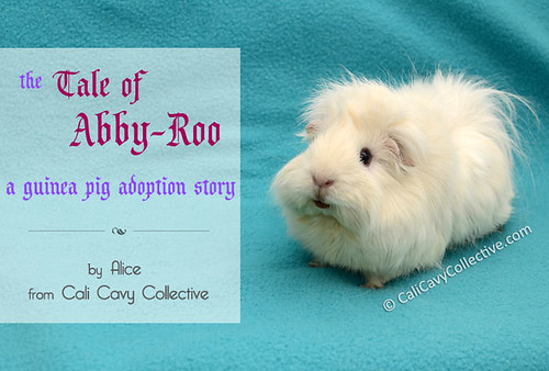 tale of abby roo cavy adoption story