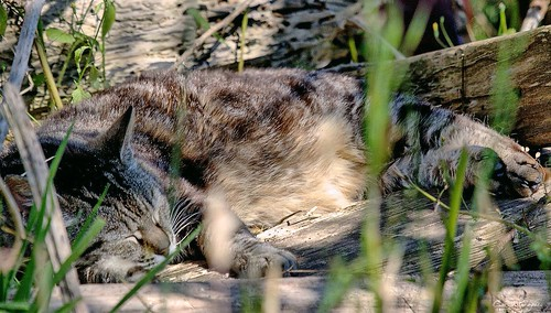 Feral Tabby Cat Bed
