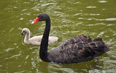animal(1.0), black swan(1.0), water bird(1.0), swan(1.0), goose(1.0), duck(1.0), wing(1.0), water(1.0), fauna(1.0), beak(1.0), bird(1.0), wildlife(1.0),