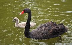 animal, black swan, water bird, swan, goose, duck, wing, water, fauna, beak, bird, wildlife,