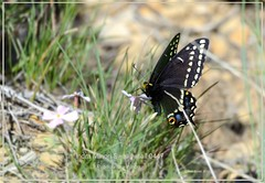 Indra minori Swallowtail Butterfly Colorado National Monument Butterfly photography by Ron Birrell, DSC_0447