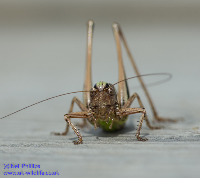 Bog bush cricket-5