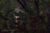 Hunting Bats - Pipistrello in caccia - Rhinlophus hipposideros