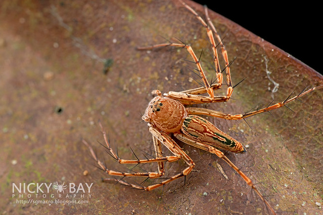 Lynx Spider (Oxyopidae) - DSC_1985
