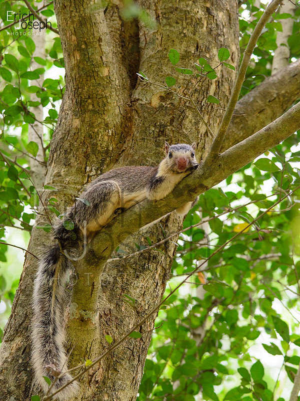 DSC_3981 - Grizzled giant squirrel (Ratufa macroura) by Erich Joseph
