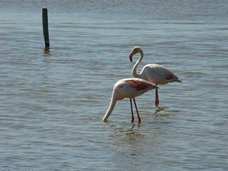 101 flamingo's