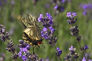 Lavender Pose