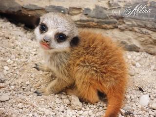 Baby meerkat B