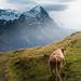 The cow who would climb the Eiger by jimmy da vig(>15 million views-thanks)