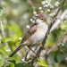 Small photo of European Reed Warbler (Acrocephalus scirpaceus)