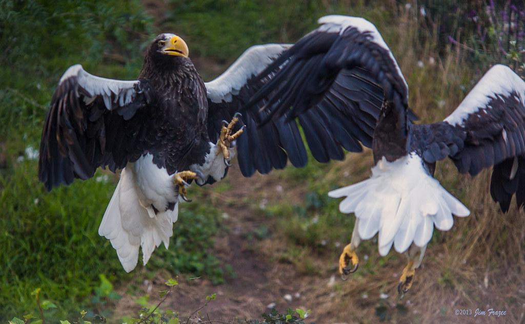 фото орлан белоплечий