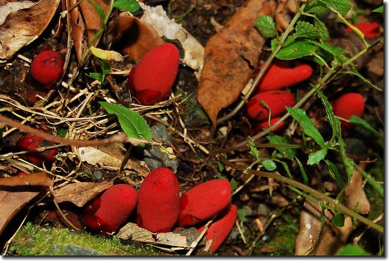 穗花蛇菇(雌)