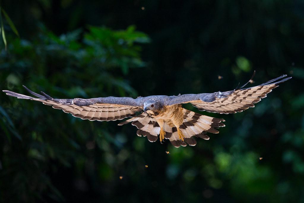 蜂鷹-0172