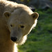 Eisbären im Dierenrijk im Oktober 2013