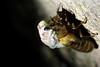 molting cicada 1