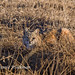 Bobcat by Wild Valley Photos