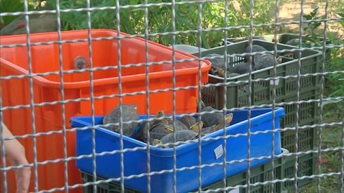 保育龜收容中心空間不足,龜龜交疊。