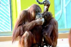 Orang Utan Baby und die Familie