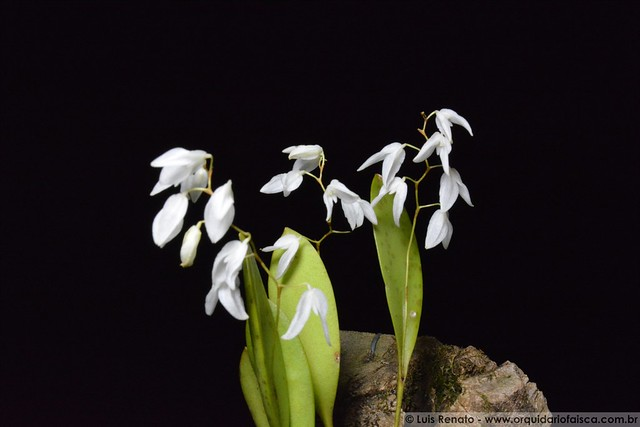 1432 - Pabstiella pterophora