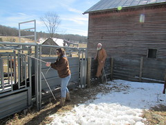 Working cattle 02012014 (12)