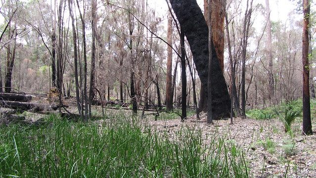 Day 35: Evidence of burning in Northcliffe Forest Park