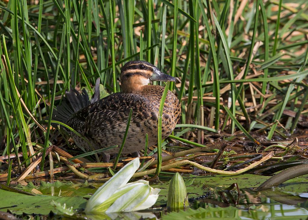 Masked Duck female 2014-02-04