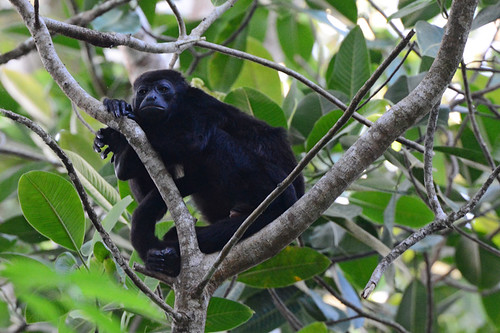 Panama: Howler Monkey Pondering Life