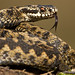 Adder by KHR Images