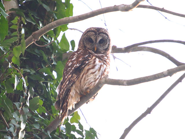 owl_010