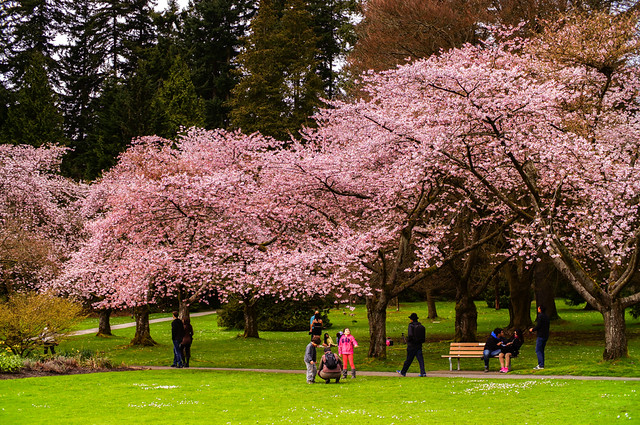 Cherry Blossoms in Vancouver Stanley Park