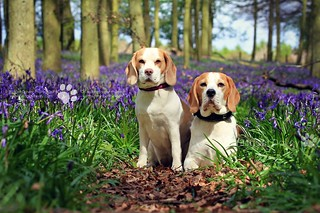 The Beagles at Bluebell Woods | Hertfordshire, England