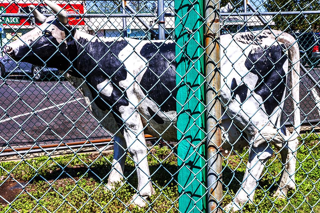 Concrete-cow--Bensalem-Township