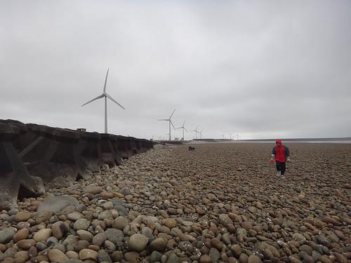 野生石蚵就附著在高潮線的石頭上。圖片提供:沙浪。