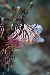 lionfish strike