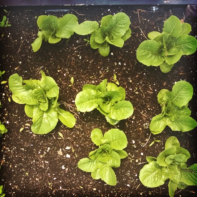 We leave for a few days and the plants just blew up into adults!  Look at our beautiful lettuce plants already! Each one is at least 10 inches wide already! #lettuce #harvest #garden #gardenchat #happiness #urbangarden #rooftopgarden #containergarden #veg