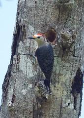 Golden-fronted woodpecker