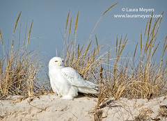 Snowy Owl on Sand Dune