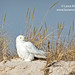 Snowy Owl on Sand Dune by Laura-Meyers