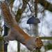 squirrel taking lunch 2