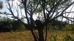 Teklemariam Sime's hive on a tree (Photo:ILRI\ Zewdie Adane)
