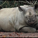 Black rhinoceros (Diceros bicornis) by Xavier Bayod Farré