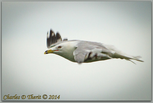 1500 350mm 56 7d 7dclassic 7dmark1 7dmarki bif bird birdinflight black canon cloudy ef353503556lusm ef35350mm ef35350mmf3556lusm eos7d explore f56 gray gull nature red ringbilledgull sky superzoom telephoto unitedstates usa white wildlife yellow can canada fallsview geo:lat=4308015797 geo:lon=7907374414 geotagged niagarafallssoutheast ontario iso1250 best wonderful perfect fabulous great photo pic picture image photograph