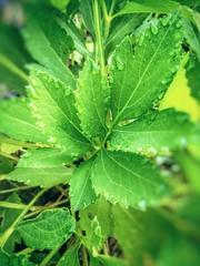Morning Dew Garden 6881BN