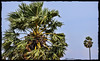 Palmyra fruits / பனை நுங்கு