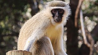 Vervet Monkey (Chlorocebus pygerythrus) watching us eat lunch in Dinidza Private Game Reserve, South Africa.