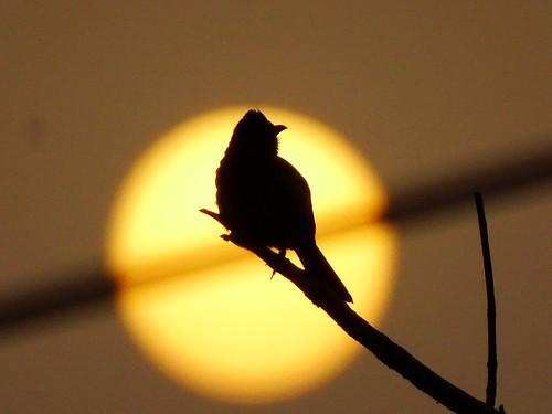 sunset sun india bird nature silhouette evening asia flickr outdoor wildlife indian sony hobby monsoon punjab birder chandigarh treebranch naturephotography bulbul redventedbulbul sonydschx400v
