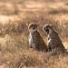 Les guépards - grosse fatigue by www.sophiethibault.ca