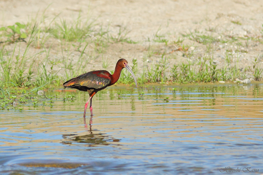 White-faced Ibis 050313-1