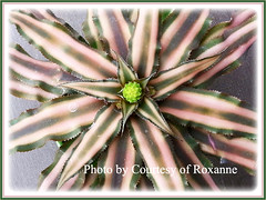 Cryptanthus bivittatus var. bivittatus (Starfish Plant or Earth Star), captured by Ms. Roxanne of USA