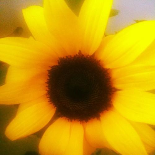 Sun(flower)shine